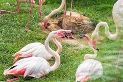 Den Phoenicoparrus för flamingo för James ` s jamesien eller den Puna flamingo Royaltyfria Foton