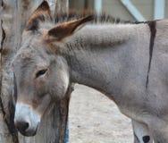 Den Poitou åsnan Arkivfoto