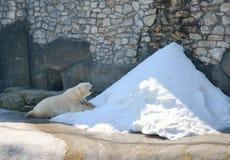Den polara Björn-sommartid Moskva Zoo-Ryssland Fotografering för Bildbyråer