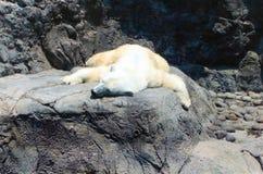 Den polara björnen arkivfoton