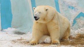 Den polara hon-björnen och gröngölingen sover i en zoo i en vinter Arkivbild