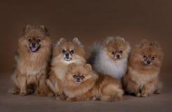 Den Pomeranian familjen poserar i studio Arkivbilder