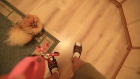 Den Pomeranian hunden önskar att gå arkivfilmer