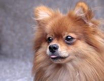 Den Pomeranian hunden klibbade ut hans tunga Fotografering för Bildbyråer