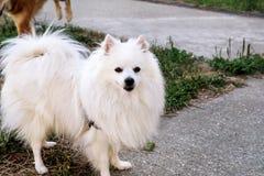 Den Pomeranian hunden parkerar in Den Pomeranian spitzhundkapplöpningen står Arkivfoto