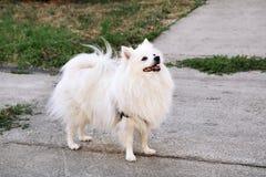 Den Pomeranian hunden parkerar in Den Pomeranian spitzhundkapplöpningen står Arkivbild