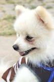 Den Pomeranian hunden sitter och stirrar Royaltyfri Bild