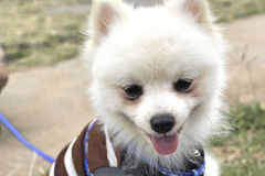 Den Pomeranian hunden sitter och stirrar Arkivbild