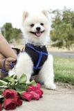 Den Pomeranian hunden sitter och stirrar med röda rosor Royaltyfri Fotografi