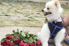 Den Pomeranian hunden sitter och stirrar med röda rosor Arkivfoto