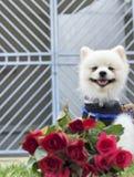 Den Pomeranian hunden sitter och stirrar med röda rosor Arkivbild