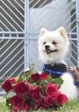 Den Pomeranian hunden sitter och stirrar med röda rosor Royaltyfria Foton