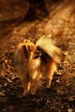 Den Pomeranian spitzen, hunden, vovven, valp är bli och se till det ljusa solskenet i skogen Arkivbilder