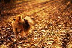 Den Pomeranian spitzen, hunden, vovven, valp är bli och se upp i skogen Arkivfoto