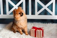 Den pomeranian spitzen, valpen, hund placerade på plädet, och se upp med presen Royaltyfri Fotografi