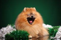 Den Pomeranian Spitzhunden g?spar p? gr?n bakgrund royaltyfri fotografi