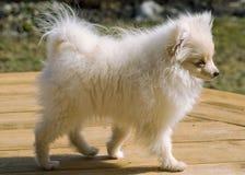 Den Pomeranian valpen namngav Bentley Royaltyfria Foton