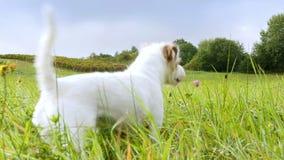 Den prästrussell terriern studsar över en sommaräng med lösa blommor stock video