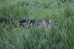 Den preying katten Fotografering för Bildbyråer