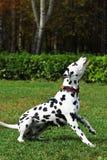 Den prickiga hunddalmatianen går med parkera som är förlovad i utbildning Arkivfoton