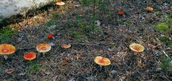 Den prickiga röda flugsvampen i höstskogchampinjon på en glänta i champinjon för höstchampinjonskog med det röda locket eller Arkivfoton