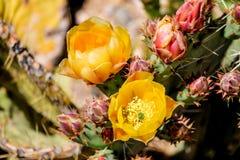 Den Pricky päronkaktuns blommar i den Sonoran öknen, Arizona Arkivfoton