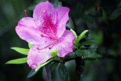 Den purpura blomman Royaltyfria Bilder