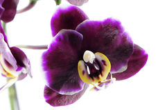 den purpura orchiden single Royaltyfria Foton