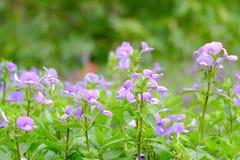 Den purpurfärgade blommablomningen i en botanisk trädgård på parkerar med grön naturbakgrund arkivfoto