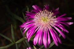Den purpurfärgade blomman av suckulenten royaltyfria bilder