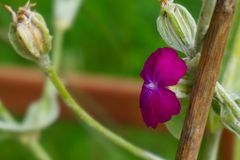 Den purpurfärgade blomman blomstrade fullständigt från den fotograferade sidan royaltyfria foton