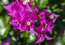 Den purpurfärgade bougainvilleaen blommar makro Arkivfoto