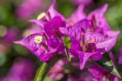 Den purpurfärgade bougainvilleaen blommar makro Royaltyfri Foto