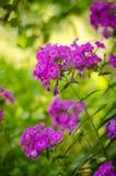 Den purpurfärgade floxen i trädgården Arkivbild