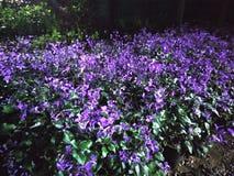 Den purpurfärgade gruppen av blomman som ankommer i natt royaltyfri fotografi