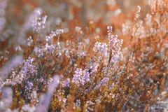 Den purpurfärgade hösten blommar i en skogPinery royaltyfri foto