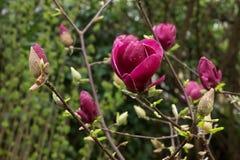 Den purpurfärgade japanska magnolian blomstrar att blomma Royaltyfria Bilder