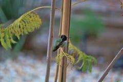 Den purpurfärgade kolibrin på vilar Royaltyfria Foton