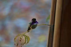 Den purpurfärgade kolibrin på vilar framdelen Arkivbilder