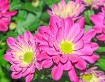 Den purpurfärgade krysantemumbuketten blommar, den blom- ordningen med mor Royaltyfri Foto