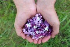 Den purpurfärgade lilan blommar i händer Fotografering för Bildbyråer