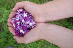 Den purpurfärgade lilan blommar i händer Arkivfoto