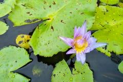 Den purpurfärgade lotusblommablomman är i en kruka med saftigt vatten royaltyfri foto