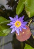 Den purpurfärgade lotusblommablomman öppnade på ett damm med den gula mitten och wate Arkivbild