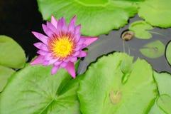 Den purpurfärgade lotusblomman Arkivfoton