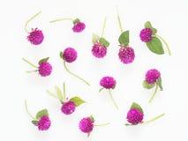 Den purpurfärgade och rosa blomman för jordklotamaranthen med stammen och sidor sänker lägger i abstrakt begrepp på vit bakgrund Royaltyfri Fotografi