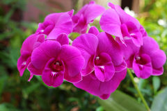 Purpurfärgad orchid. Arkivfoto