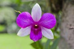 Den purpurfärgade orkidén är blommande Royaltyfria Foton