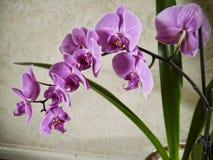 Den purpurfärgade orkidén blommar i Burnley Lancashire Royaltyfria Foton