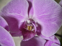 Den purpurfärgade orkidén blommar i Burnley Lancashire Royaltyfria Bilder